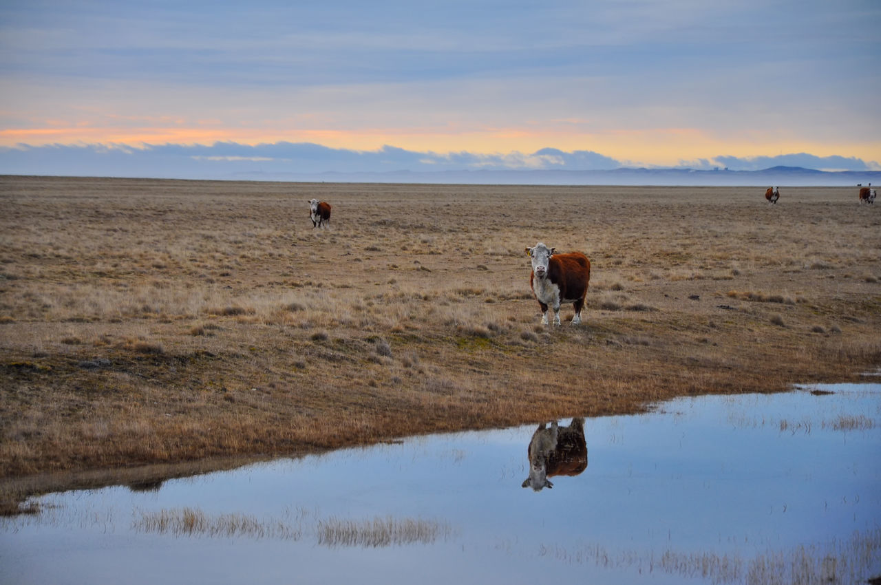 Cows early in the morning in Tierra del Fuego. Animal Argentina Beautiful Bovine Cattle Country Countryside Cow Dairy Farm Farmland Field Grass Grazing Landscape Livestock Nature Pasture Rural Scenery Scenic Sky Southernmost Travel Ushuaïa
