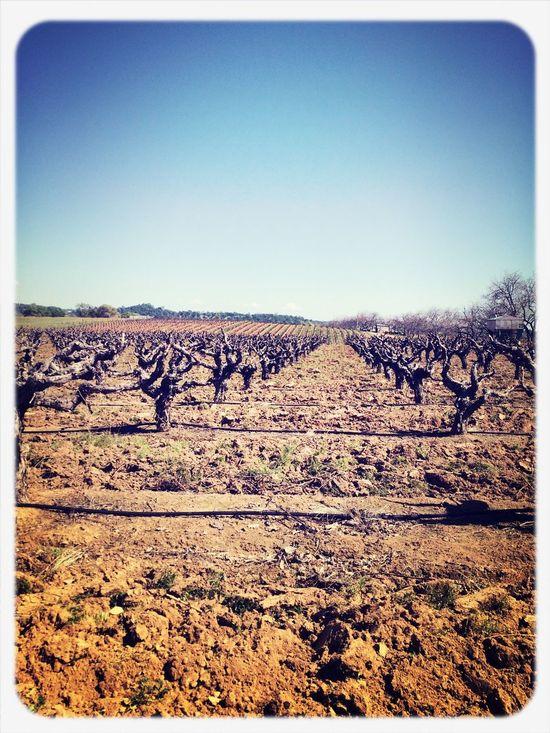 Growing Wine Zinfandel