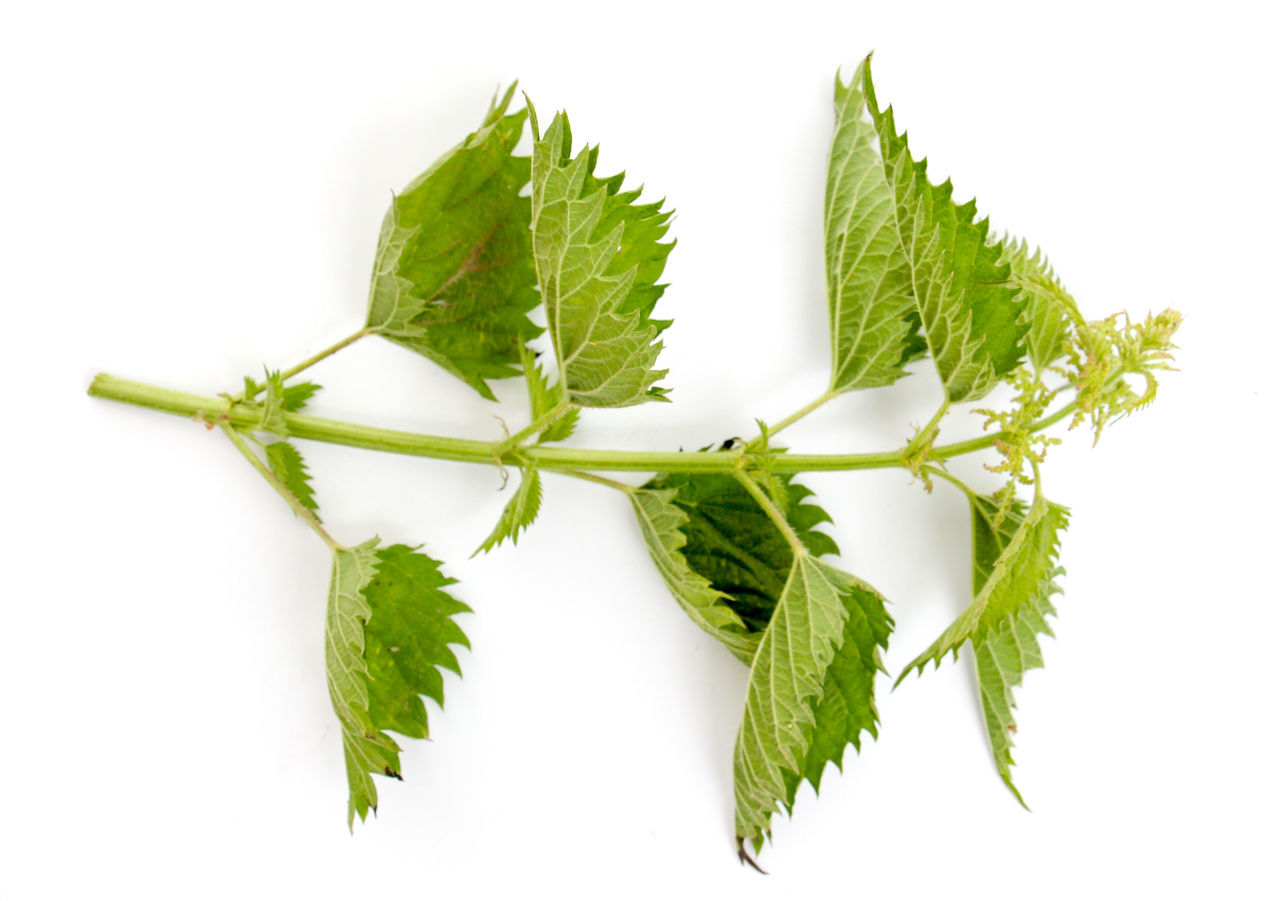 leaf, green color, white background, freshness, studio shot, herb, herbal medicine, food and drink, no people, plant, mint leaf - culinary, close-up, food, nature, day
