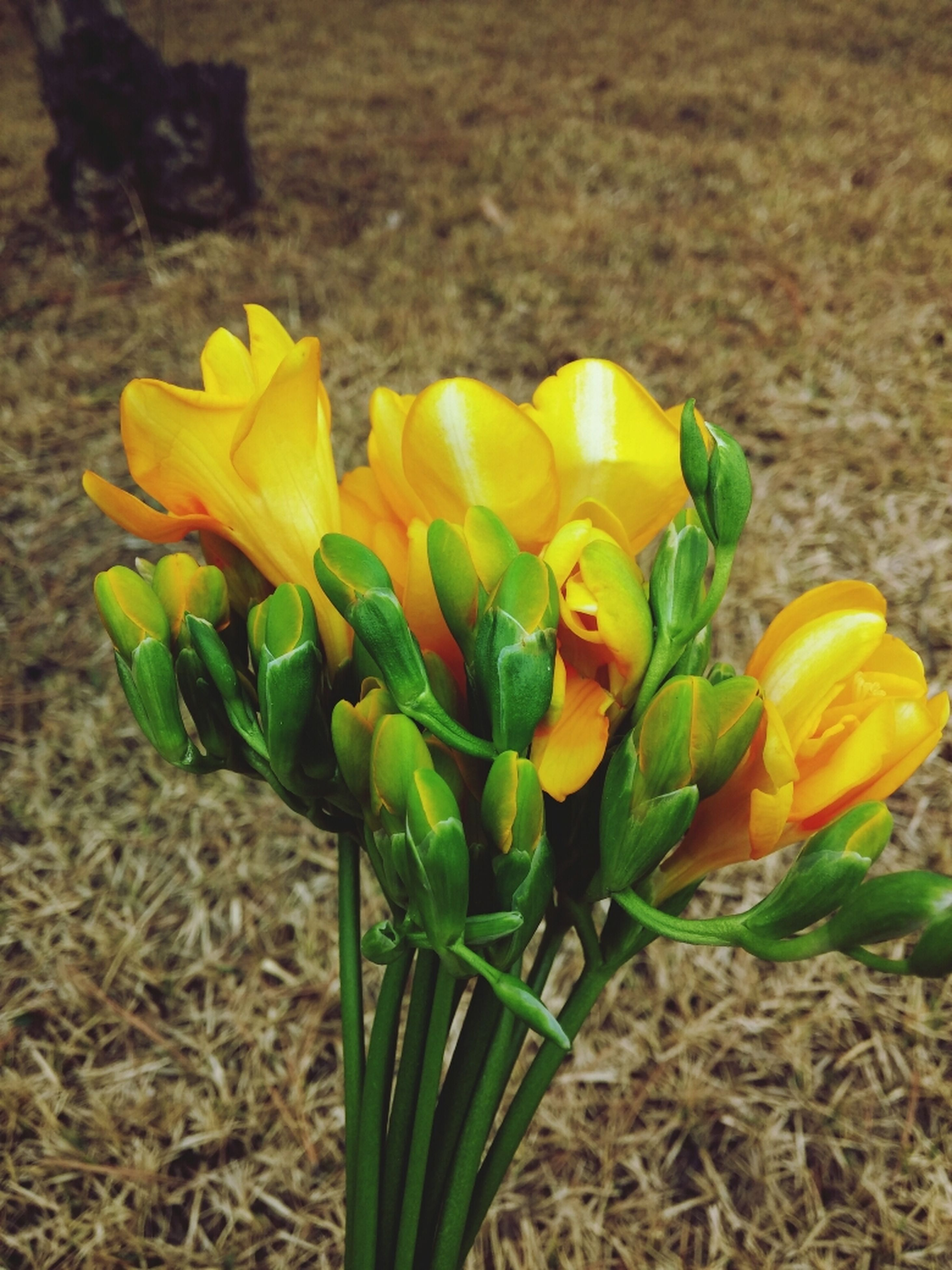 flower, yellow, freshness, petal, fragility, growth, flower head, plant, beauty in nature, tulip, nature, field, close-up, blooming, focus on foreground, stem, bud, leaf, in bloom, growing