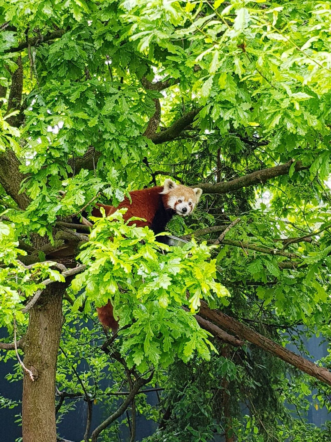 Green Color Tree Growth Nature Outdoors No People Animal Themes Day One Animal Animal Wildlife Beauty In Nature Branch Perching Nature Panda Red Panda Cute Sweet Curious Bright