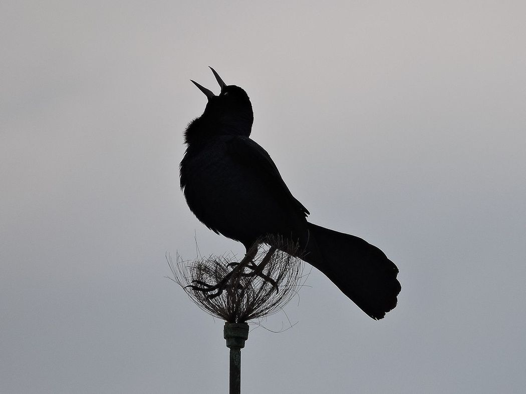 Black Bird Silhouette Grey Sky Call Of The Wild Single Chirping Singing Soloist