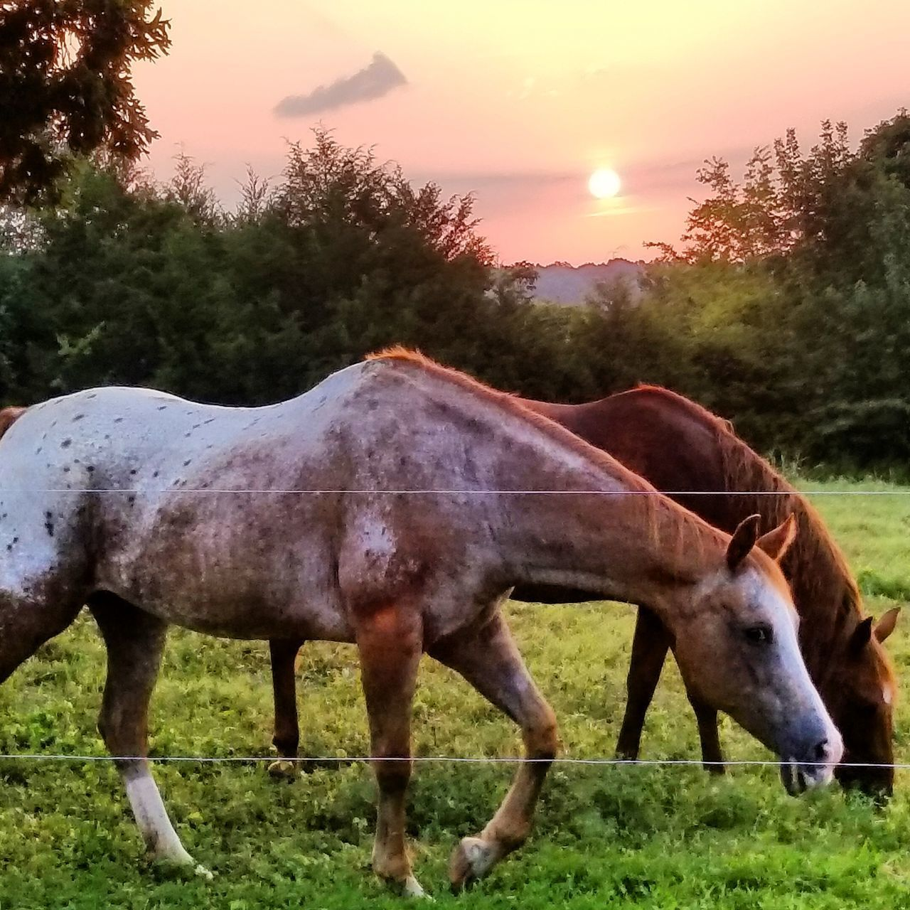 horse, domestic animals, animal themes, grass, tree, field, herbivorous, mammal, livestock, no people, standing, outdoors, one animal, landscape, sky, nature, sunset, day, beauty in nature