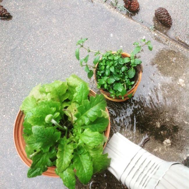 Plants RainyDays Inlove Gerberdaisy Peppermint