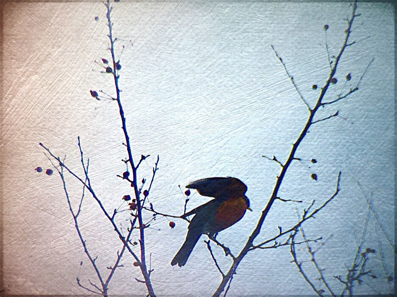 Showcase: February Photo of Robin by me and edited using Formulasapp ArtWork Bird Photography Birds Of EyeEm  Tree Branches Outdoor Photography Beautiful Nature Nature Photography Nature On Your Doorstep Photography Photoedit Clouds And Sky Photograph Single Object Singlebird Birds Singlebirdonbranch Taking Photos Photoart Gettyimages Beauty In Nature Treebranches