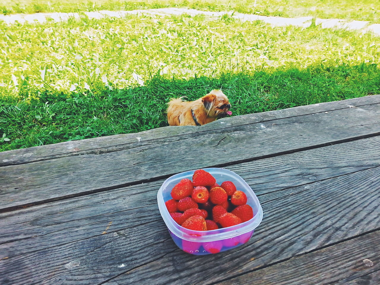 dog, pets, one animal, domestic animals, animal themes, mammal, grass, day, fruit, no people, outdoors, food and drink, red, healthy eating, sitting, growth, food, nature, freshness