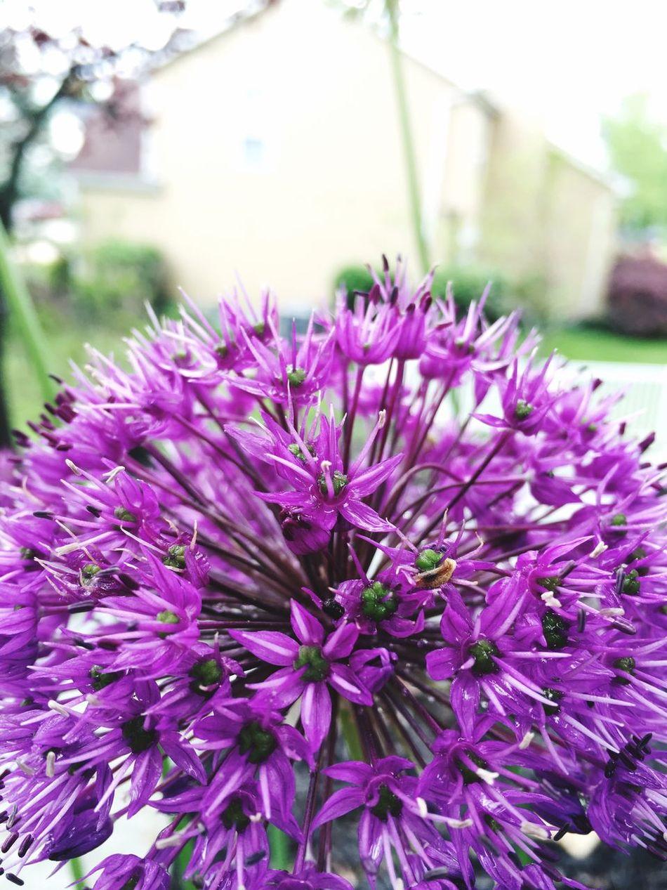 What a purple Purple Flower Allium