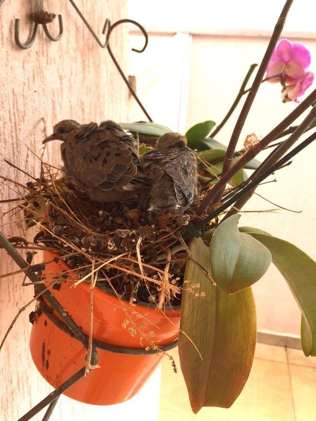 Pigeon Nestling Nestlings Nestling Bird Nest Animal Nest Bird Pigeon Nesting Nest Pigeon Nest