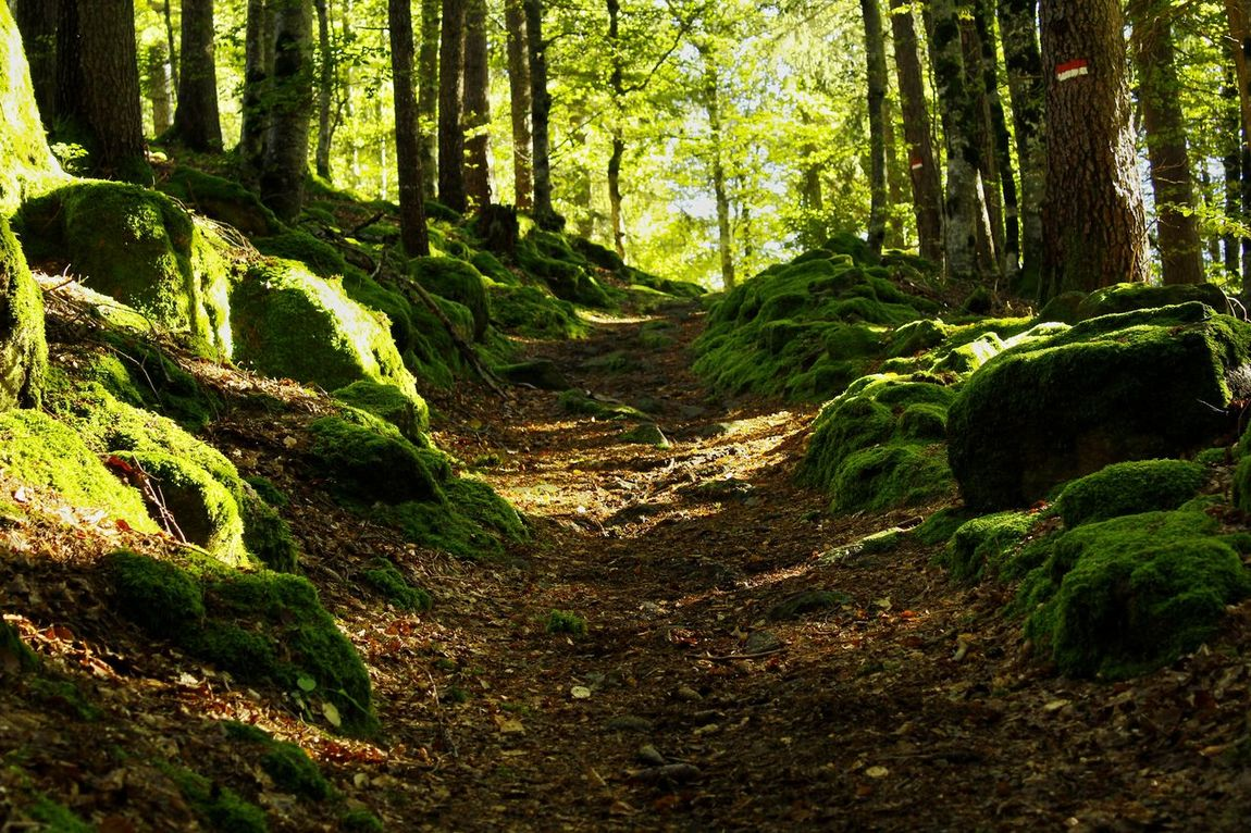 Forest Tranquility Tree Tree Trunk WoodLand Non-urban Scene Growth Tranquil Scene Nature Scenics Moss Green Color Beauty In Nature Travel Destinations Wilderness Footpath The Way Forward Plant Tourism Outdoors