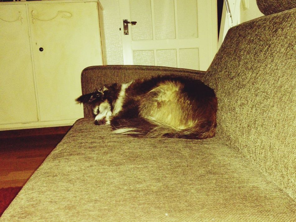 Sleeping Bruno My Dogs Are Cooler Than Your Kids Lundehund/papillon I Love My Dog