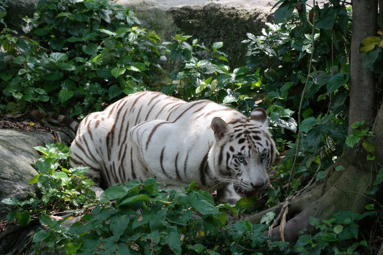 tiger, one animal, animals in the wild, white tiger, animal themes, day, animal wildlife, plant, outdoors, mammal, no people, growth, nature
