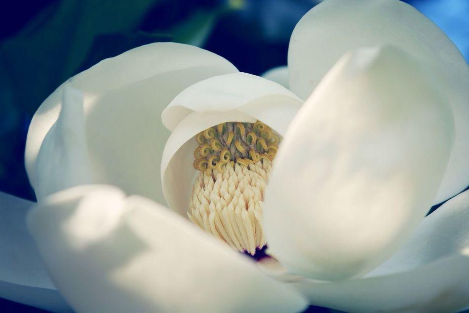 Beautiful stock photos of magnolia, Blossom, Close-Up, Day, Flower