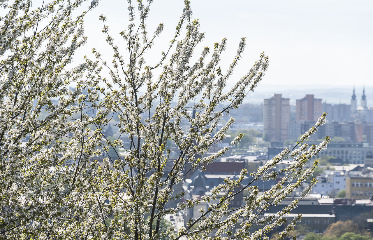 White cherry tree blossom with city in smog in background. Ostrava, Czech Republic Blossom Cherry Blossoms Day Growth Nature No People Ostrava Outdoors Petal String Tree