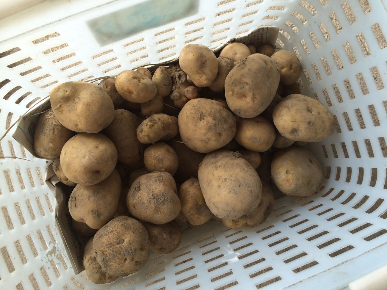 ジャガイモ(男爵) Vegetables Potato Harvest Big Potato