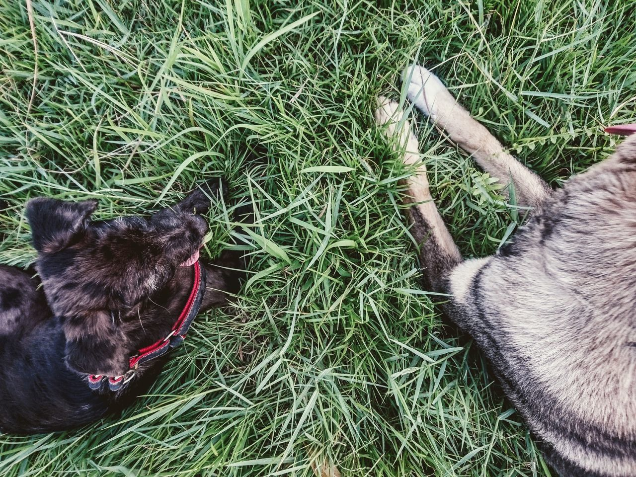 grass, dog, pets, animal themes, domestic animals, one animal, mammal, high angle view, field, day, no people, outdoors, friendship, nature, close-up