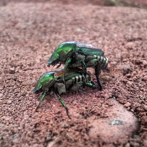 Found some Shiny Green Beetles Gettingdown and Dirty this Morning ;D (not being a Creeper) haha