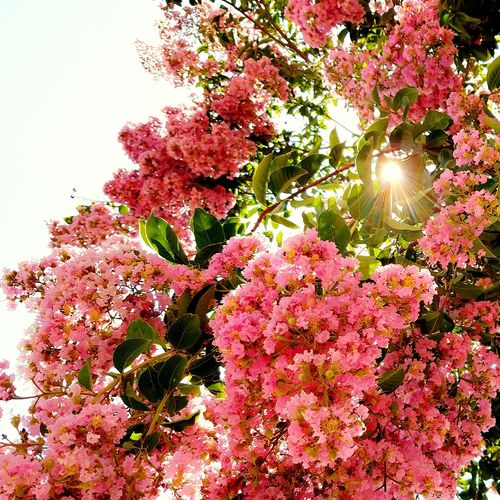 Flower Pink Color Beauty In NatureBlossom Low Angle View Tree Sunlight Nature Lens Flare Sunny Blooming In Bloom Flowering Tree Bloom Blooming Tree Pink Flowers Pink Tree Summertime Summerblooms In Full Bloom Pink Nature Photo Nature Photography Peeking Through The Trees