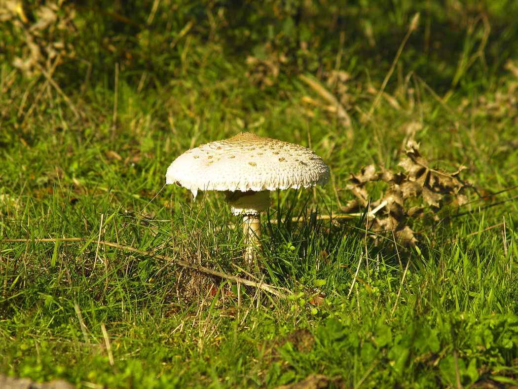 Macrolepiota procera - Edible mushroom in the grass Autumn Beauty In Nature Change Close-up Day Edible Mushroom Field Focus On Foreground Fragility Freshness Fungus Grass Grass Area Growing Mushroom Nature No People Selective Focus Surface Level Toadstool Uncultivated Macrolepiota Procera Macrolepiota