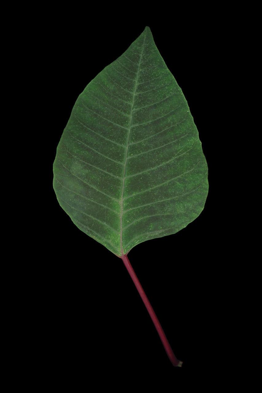 Close-Up Of Euphorbia Pulcherrima Leaf Against Black Background