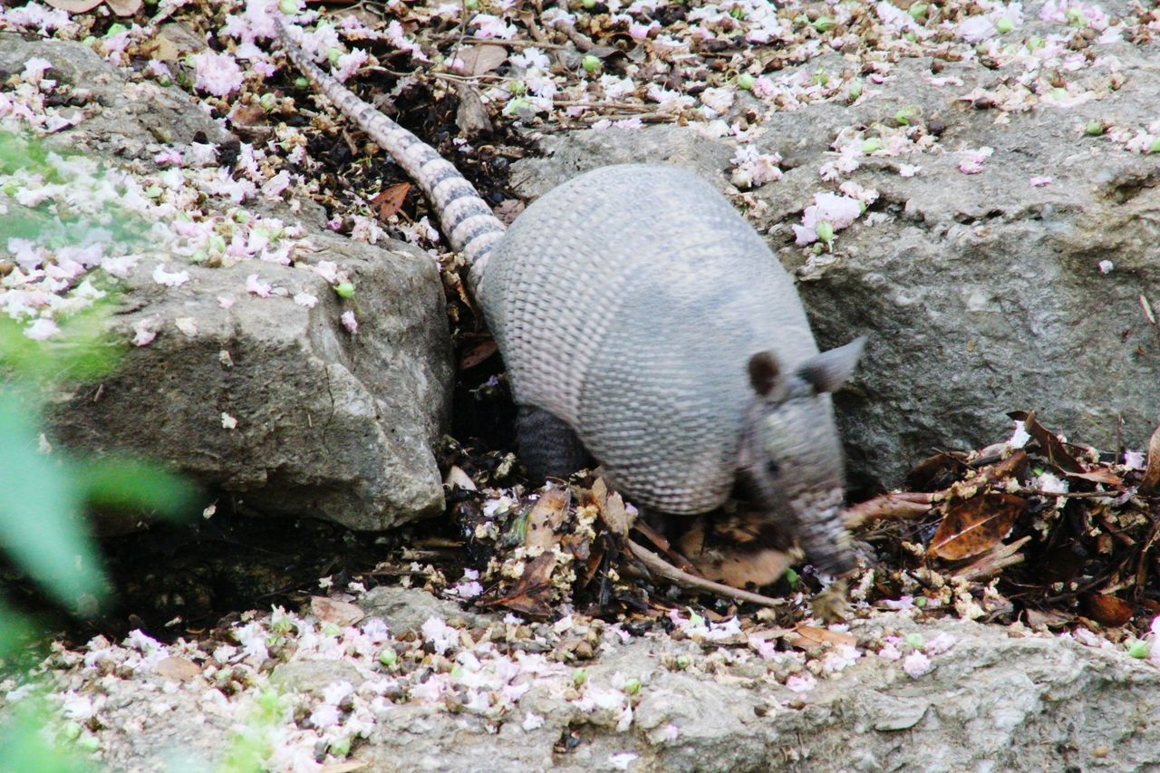 One Animal Day Animal Themes Animals In The Wild No People Outdoors Nature Flower Animal Wildlife Mammal Close-up Photographic Memory Botanical Garden Plant Part Photooftheday Canon_photos My Hobby 😁 Canonphotography Armadillo Armadillo In The Woods Armadillophotography