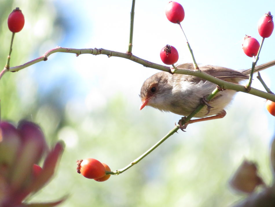 Bird Superb Fairy Wren Nature Animals Rose Hips Red No Edit/no Filter Beauty In Nature Animals In The Wild Freshness Day Close-up No People Australian Birds Australia In My Garden