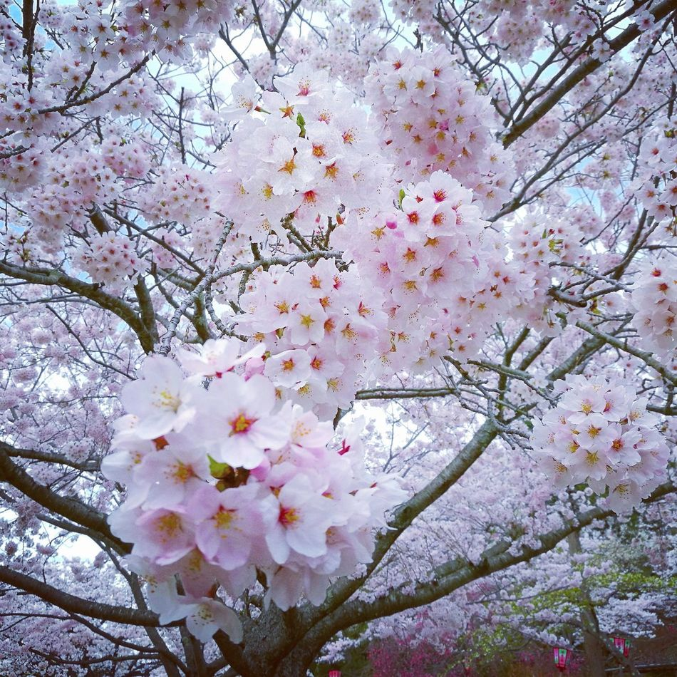 Cherryblossom Flower Blossom Fragility Beauty In Nature Branch Growth Springtime Freshness Nature Tree White Color Botany No People Pink Color Backgrounds Apple Blossom Low Angle View Petal Stamen Day Close-up Cherry Blossom Looking At Camera Beauty In Nature