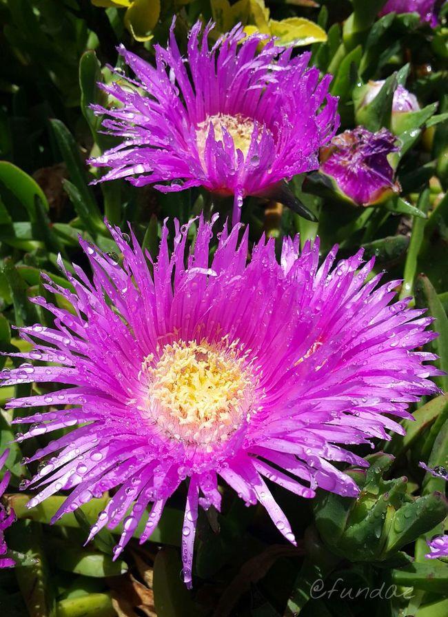 Kaldırım kenarları da renklendi 🎶 Garden Macro Turkey Turkiyem Flower Head Flowerlovers Flower Photography Flowerporn Macro_collection Pink Flower Pink Color Pink Flower Macro Photography