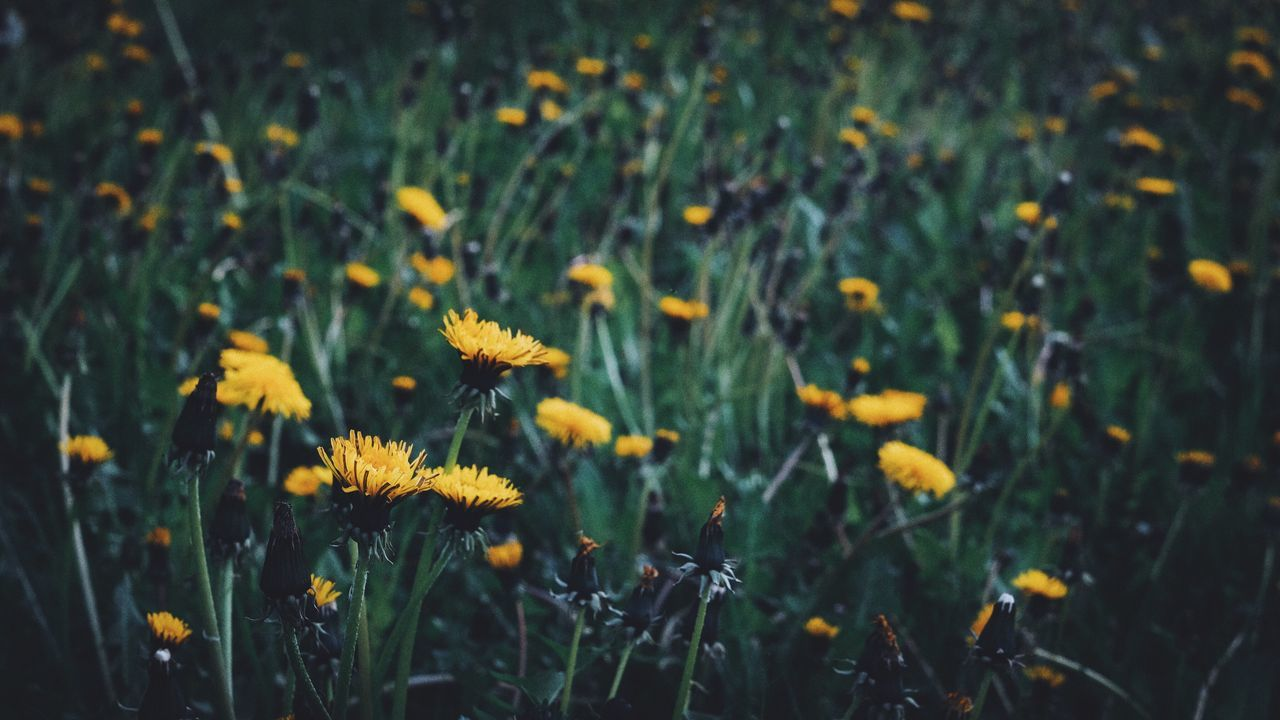 Flower Growth Plant Nature Field Flora Vegetation Blooming Blossoming  Spring Summer Yellow No People Freshness Beauty In Nature Grass Outdoors Flower Head Fragility Close-up Green Color Wildflower EyeEm Best Shots Fujifilm_xseries