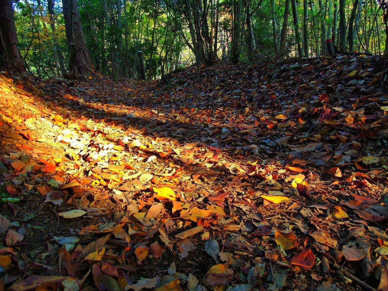 東海自然歩道行ってきました。箕面から嵐山まで。 ふかふかトレイル 紅葉 箕面