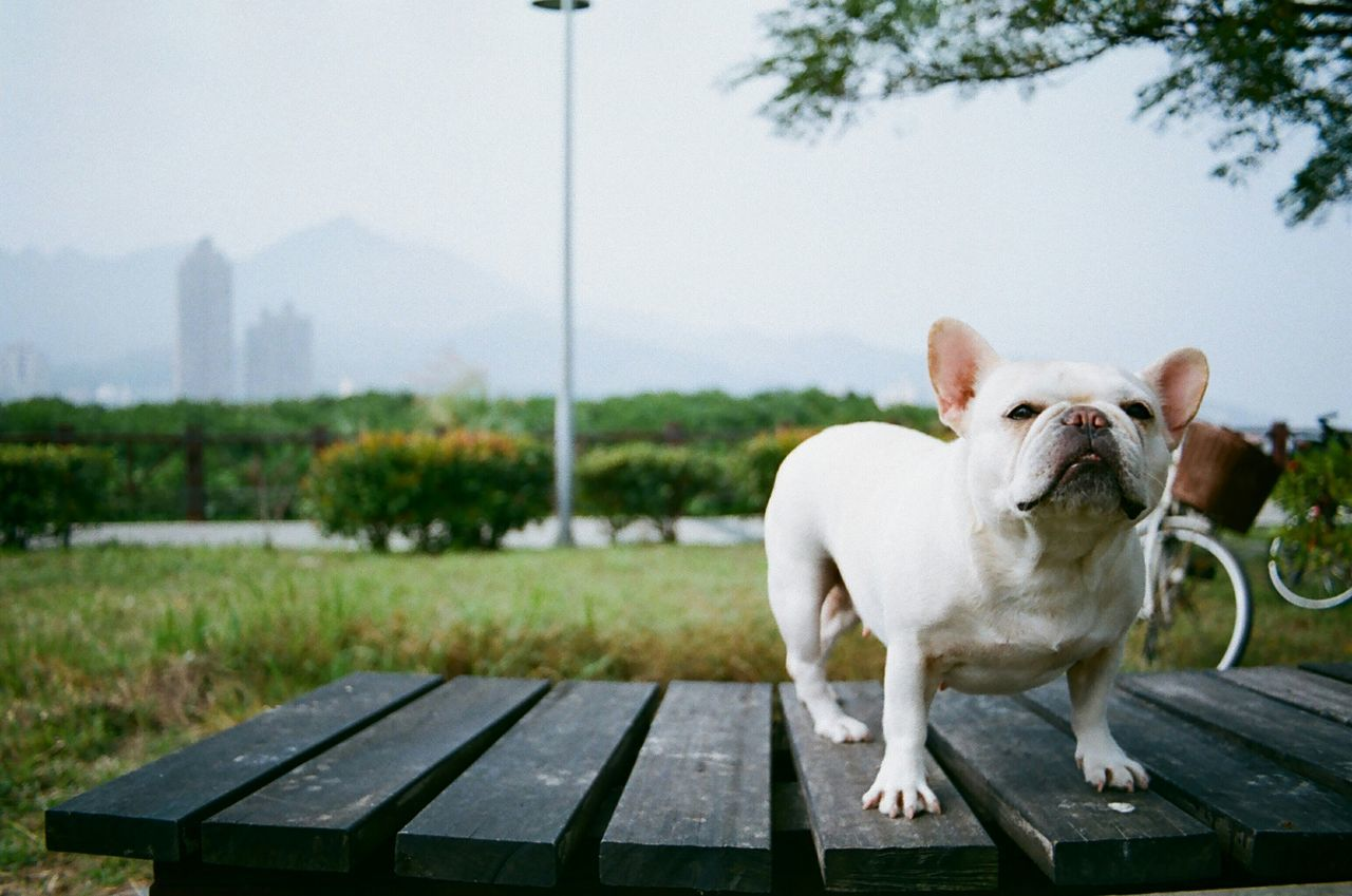 Walking Around 35mm Film On A Health Kick Cute Dog  Playing With The Animals Dog Days Frenchbulldog Dog Elegance Everywhere Getting In Touch 鐵蛋 Resist