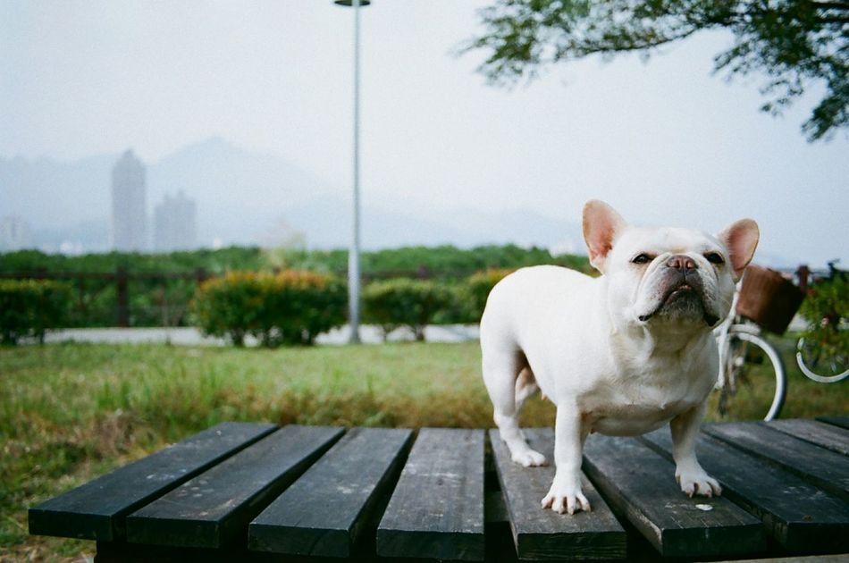 Beautiful stock photos of bulldog, Animal Teeth, Bulldog, Day, Dog