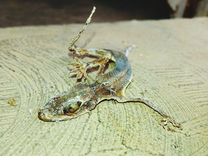 Lizard skeleton.