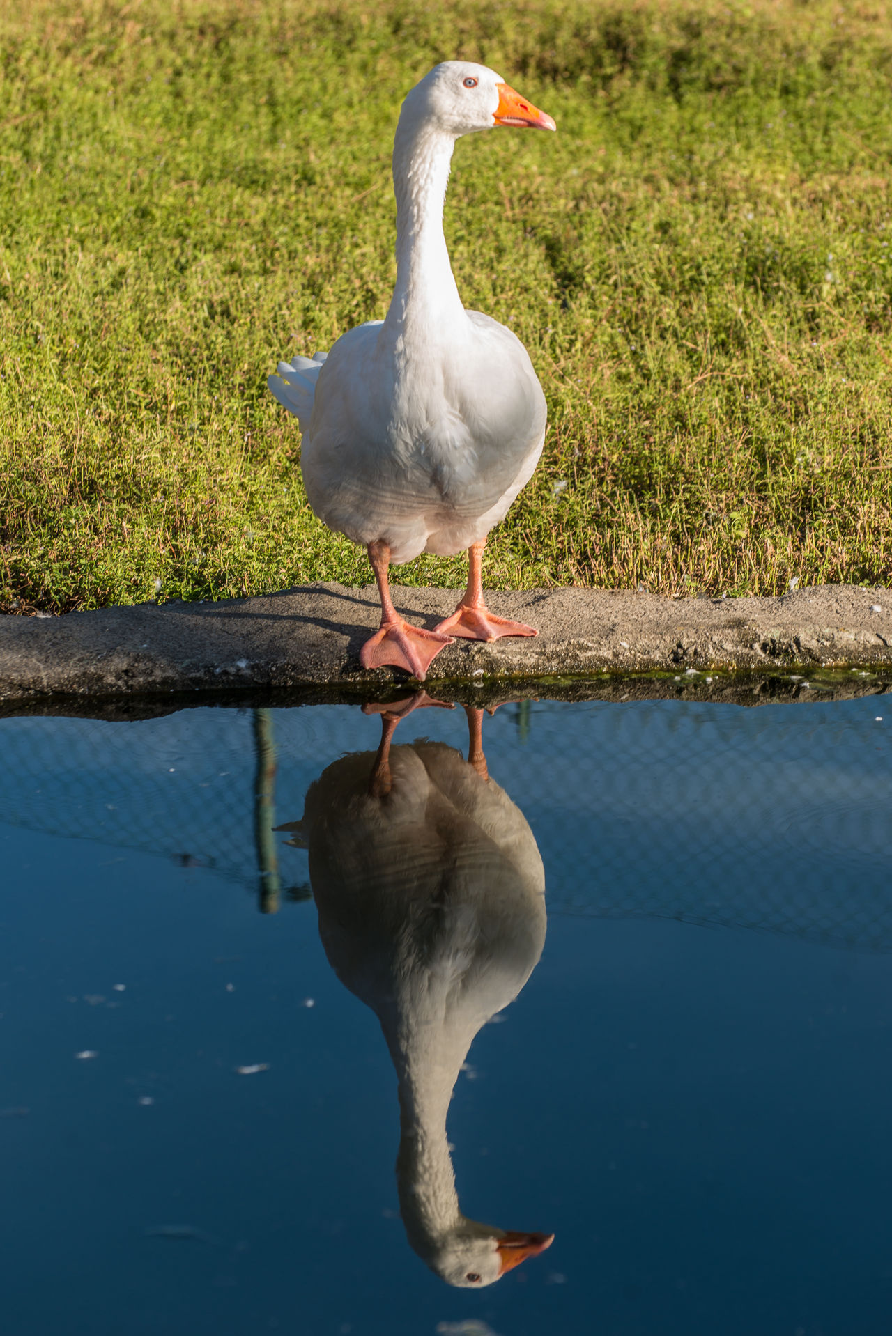 goose bird Animal Animal Themes Beauty In Nature Bird Close-up Day Focus On Foreground Goose Grass Green Color Minimalism Mirror Nature No People Outdoors Reflections Reflections In The Water Water White White Color