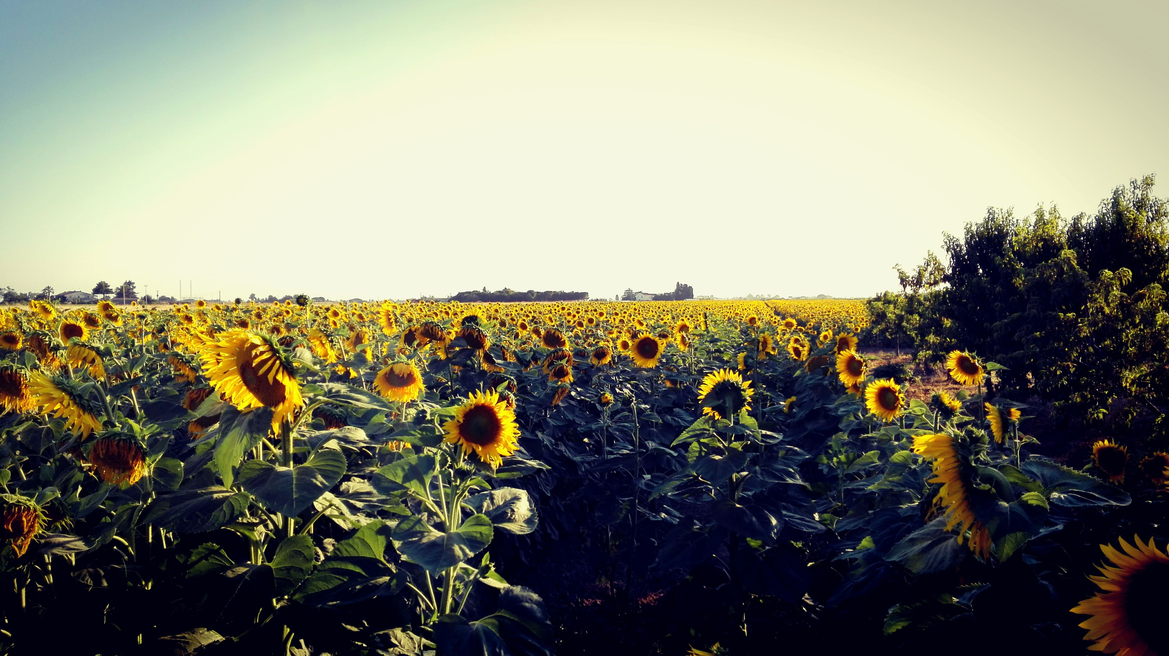 yellow, flower, sunflower, growth, field, clear sky, beauty in nature, rural scene, fragility, plant, freshness, agriculture, tranquil scene, scenics, tranquility, abundance, nature, petal, vibrant color, blossom, in bloom, flower head, majestic, sky, farm, sunbeam, growing, springtime, cultivated land, no people, blooming