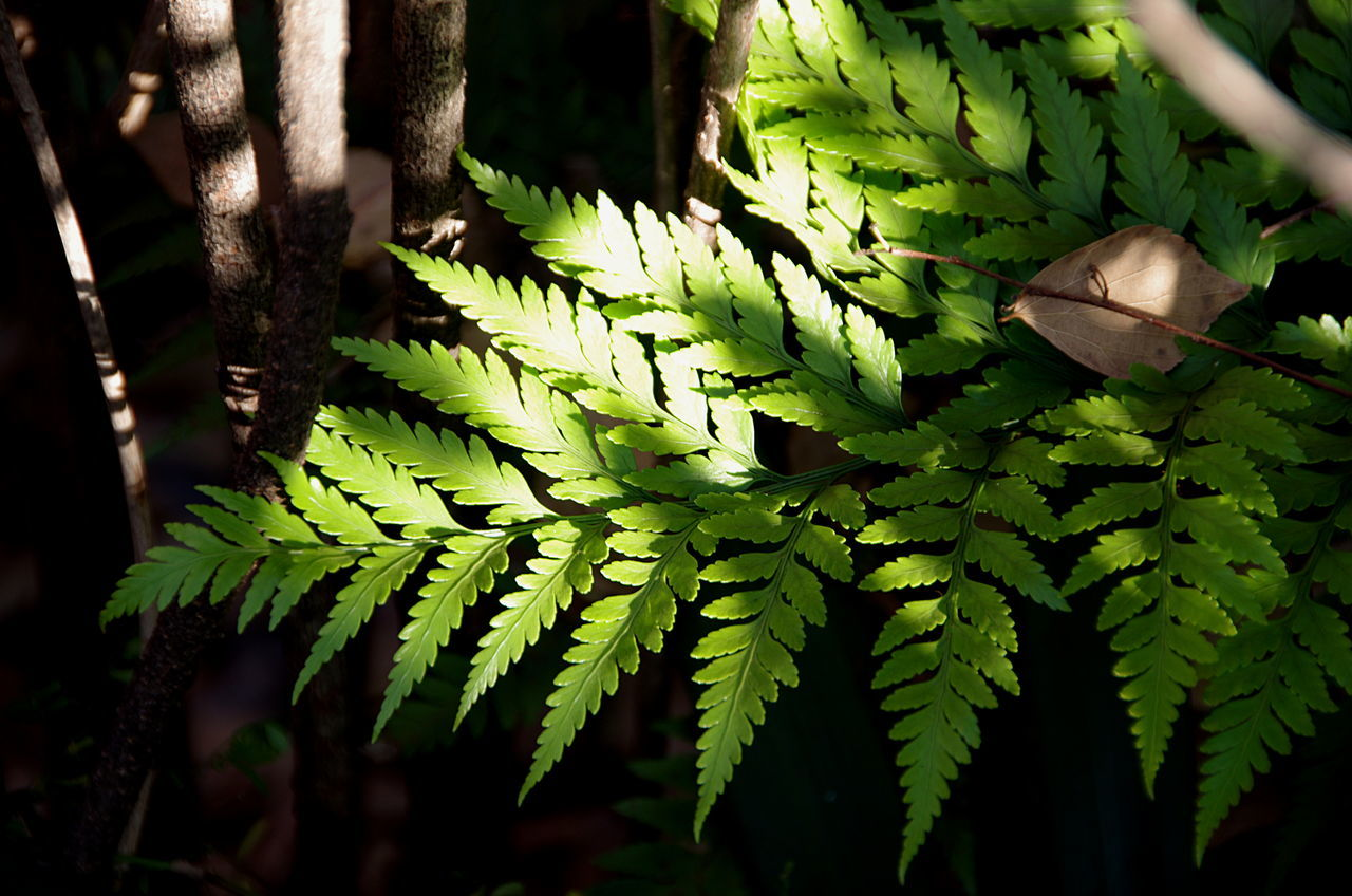 Abundance Beauty In Nature Botany Close-up Day Fern Green Green Color Growing Growth Leaf Leaf Vein Leaves Lush Foliage Natural Pattern Nature Plant Plant Life Sun Light Sun Light Through Trees Tranquility