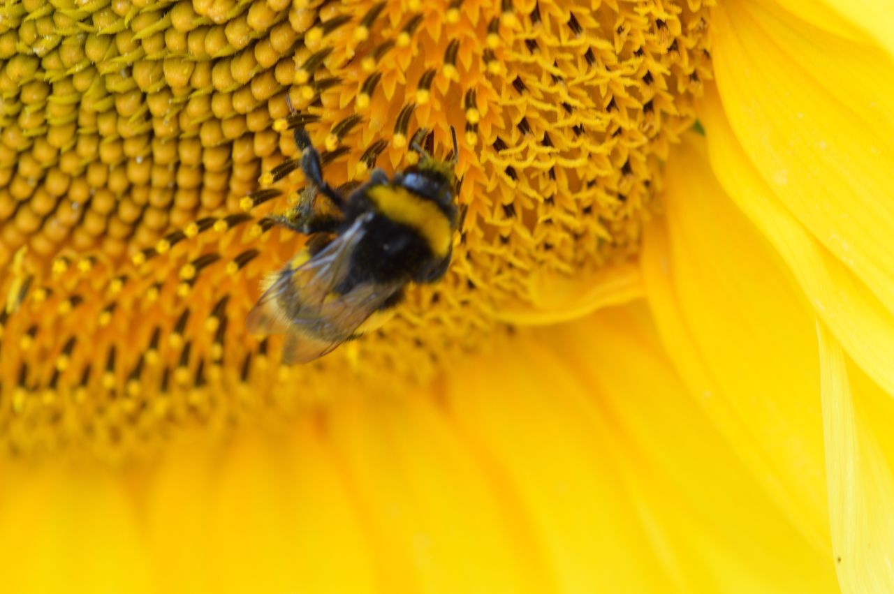 flower, insect, yellow, animals in the wild, animal themes, petal, fragility, freshness, beauty in nature, one animal, nature, animal wildlife, no people, bee, growth, close-up, day, plant, flower head, sunflower, outdoors, pollination, bumblebee, buzzing