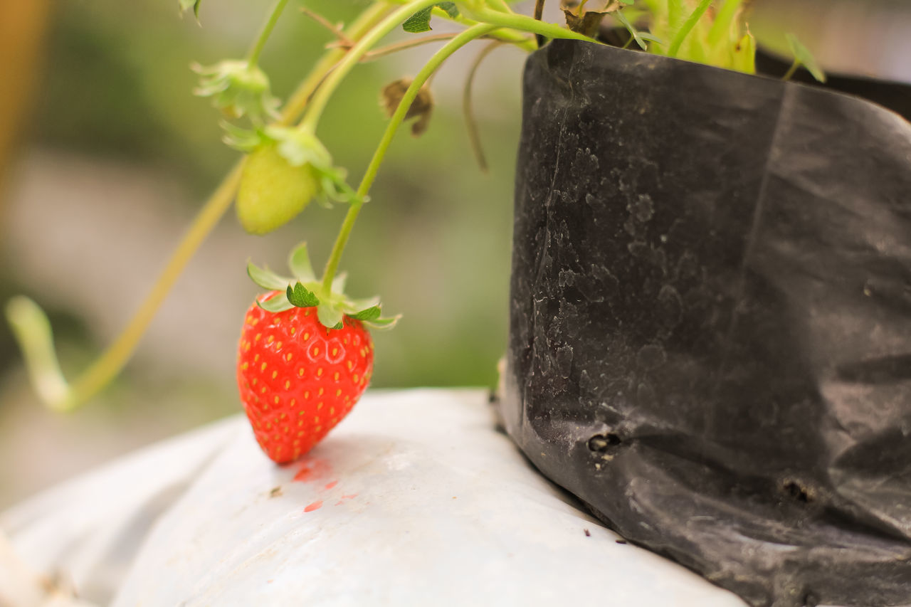 Close-up Day Detail Focus On Foreground Freshness Growth Nature No People Organic Outdoors Plants Plants And Flowers Plants And Garden Plants Collection Plants 🌱 Red Red Ripe Selective Focus Still Life Strawberries Strawberry