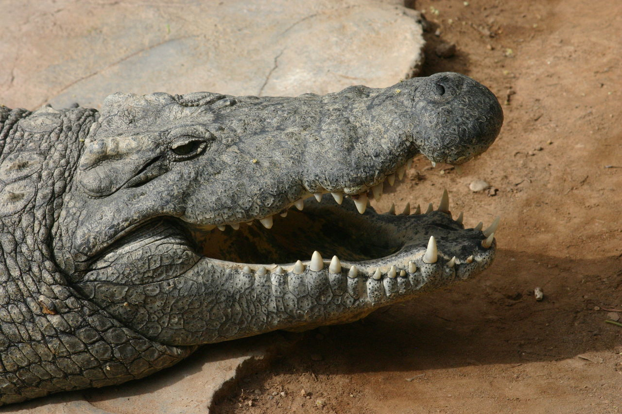 Alligator South Africa Kruger Park Krugernationalpark Krüger National Park