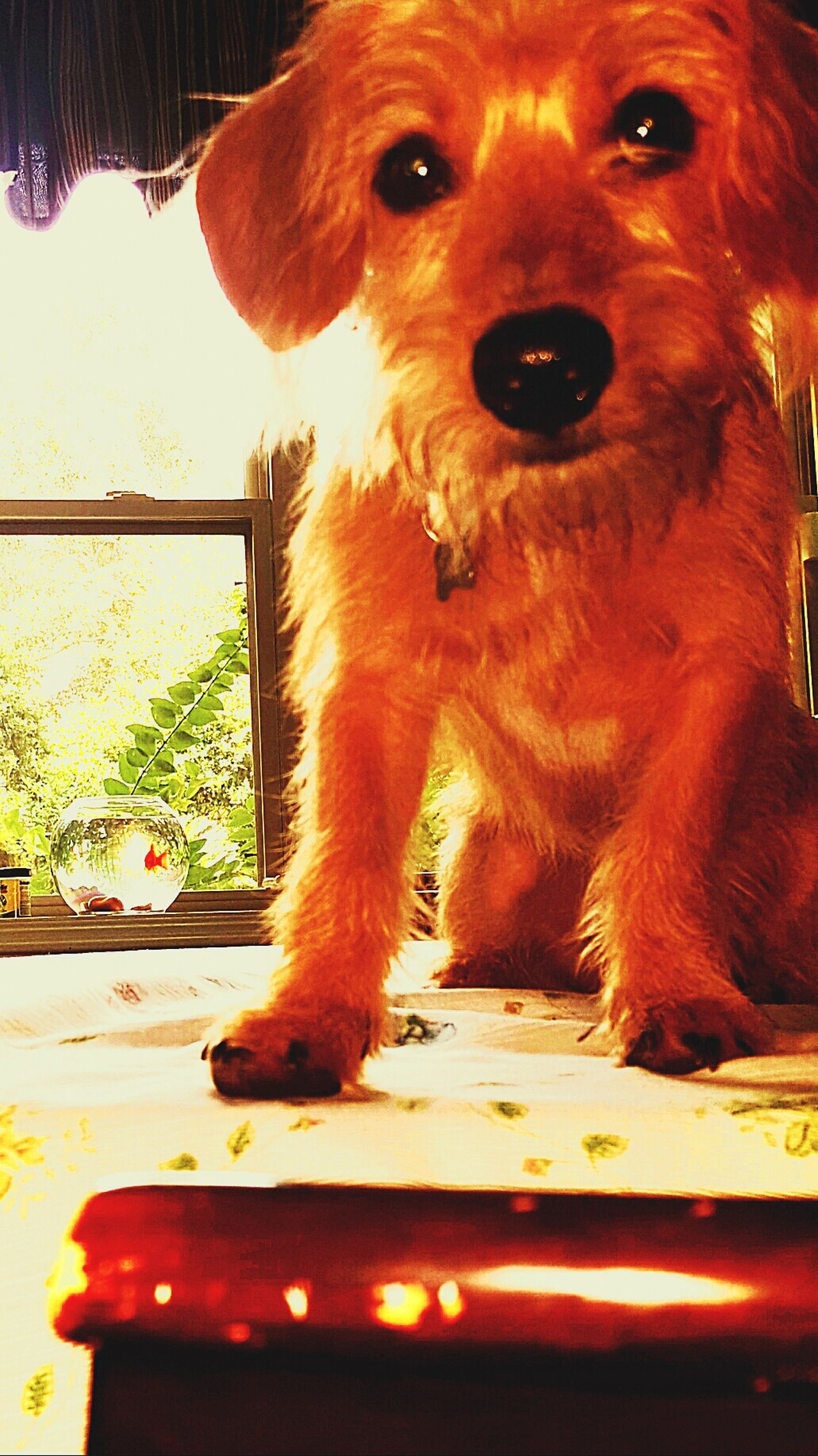 Dog Photos Official EyeEm © Doggie On Kitchen Table With Goldfish Dog❤ Rescuedog Rescuedogtosuperdog Check This Out Dog Photography Dog Portrait Dogs Of EyeEm Doggy Love Dog Life Dogslife Small Dog Big Heart Pet Portraits