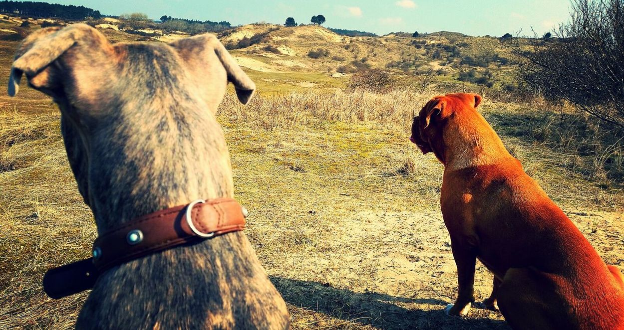 Nature On Your Doorstep Dunes Of Holland Dunes Nature Dogs On Watch Amazing View Dog Friends Bordeauxdog Pittbull Friendship Friends My Daily Life Capture The Moment EyeEm Best Shots Trough My Eyes EyeEm Nature Lover Eyem Best Shots Sunshine Amazing Nature Zandvoort EyeEm Best Shots - Nature EyeEm Gallery Nature Photography Dog