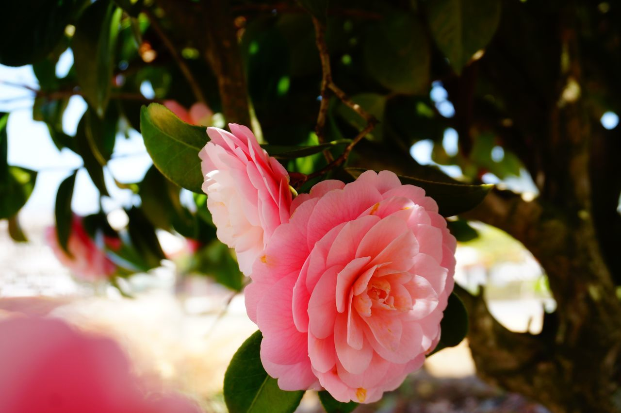 Showcase April Pink Flower Colour Of Life Nature Fragility Macro Beauty In Nature Flowers Camellia Beautiful Blooming In Bloom Pink Flowers Pink EyeEm Nature Lover