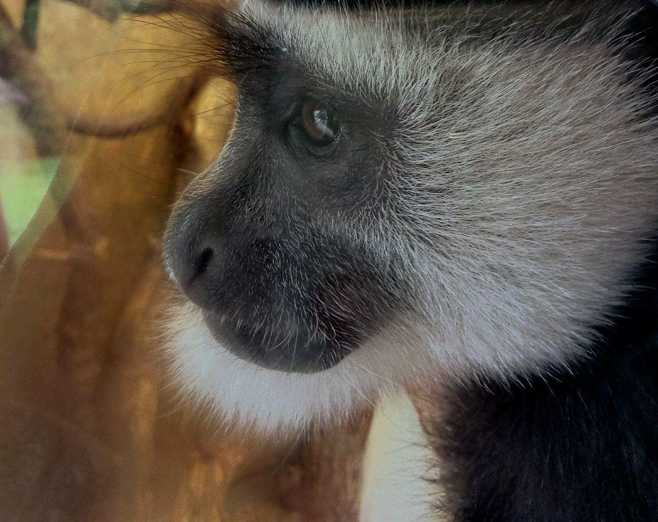 Eyes Never Lie Innocent Eyes Beautifulcreation Fashionhair Animal Photography Monkey Face