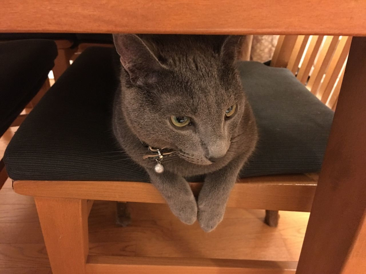 Cat Lovely Kitten RussianBlue