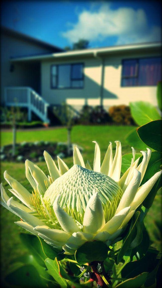 Protea Blooming Tree Flowers In My Garden Flowers_collection Winter Blooms