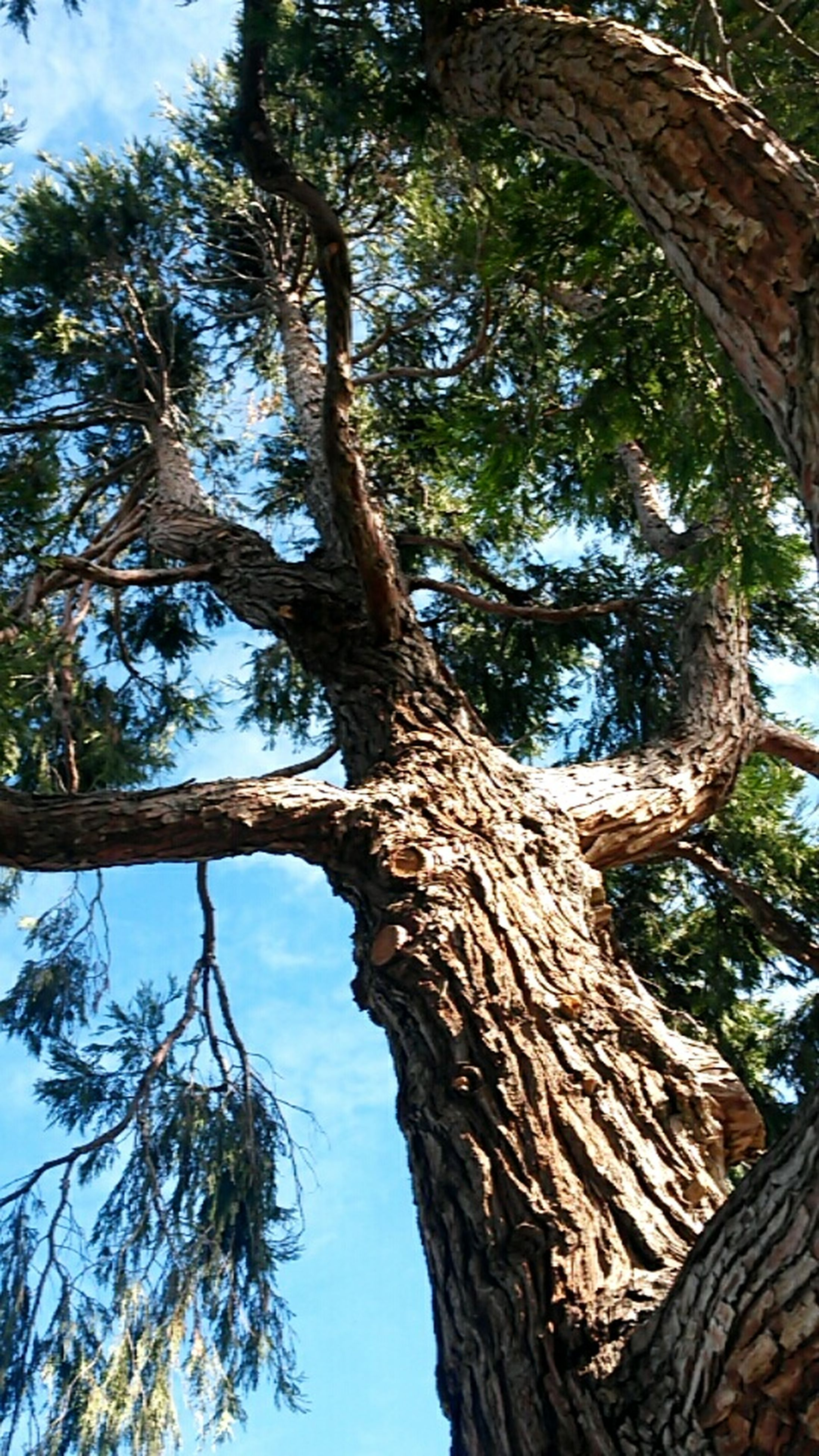 tree, low angle view, tree trunk, branch, growth, nature, tranquility, sky, day, forest, outdoors, no people, wood - material, beauty in nature, clear sky, directly below, sunlight, tall - high, bark, part of