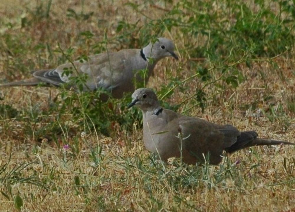 Animal Animal Themes Animals In The Wild Bird No People Outdoors Turtledove Two Animals