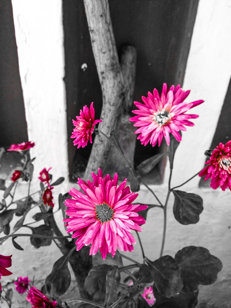 flower, fragility, growth, nature, petal, beauty in nature, freshness, outdoors, no people, plant, blooming, day, close-up, pink color, flower head, petunia