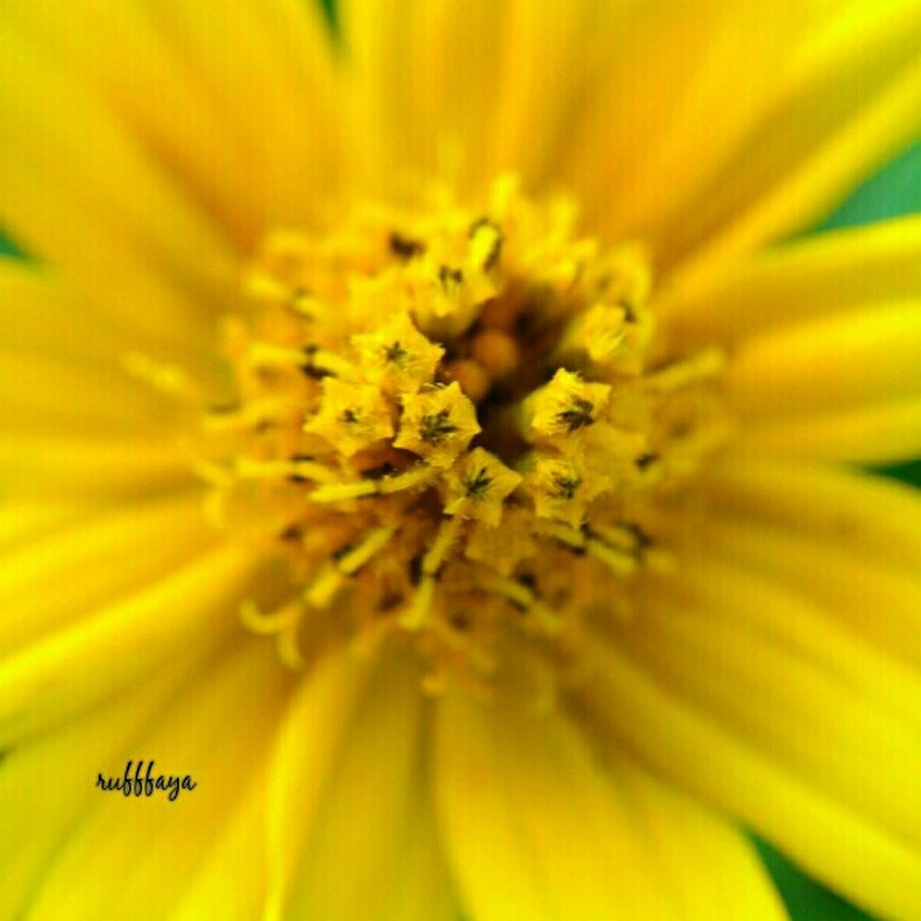 macro, yellow princess.