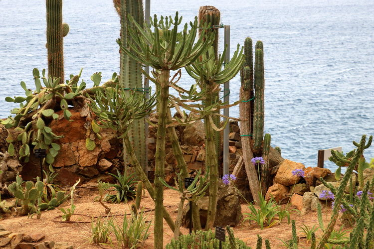 Cactus in Costa Brava Costa Brava Spain, Beauty In Nature Cactus Growth Nature No People Outdoors Plant Rock - Object Saguaro Cactus Scenics Sea Tranquility Water