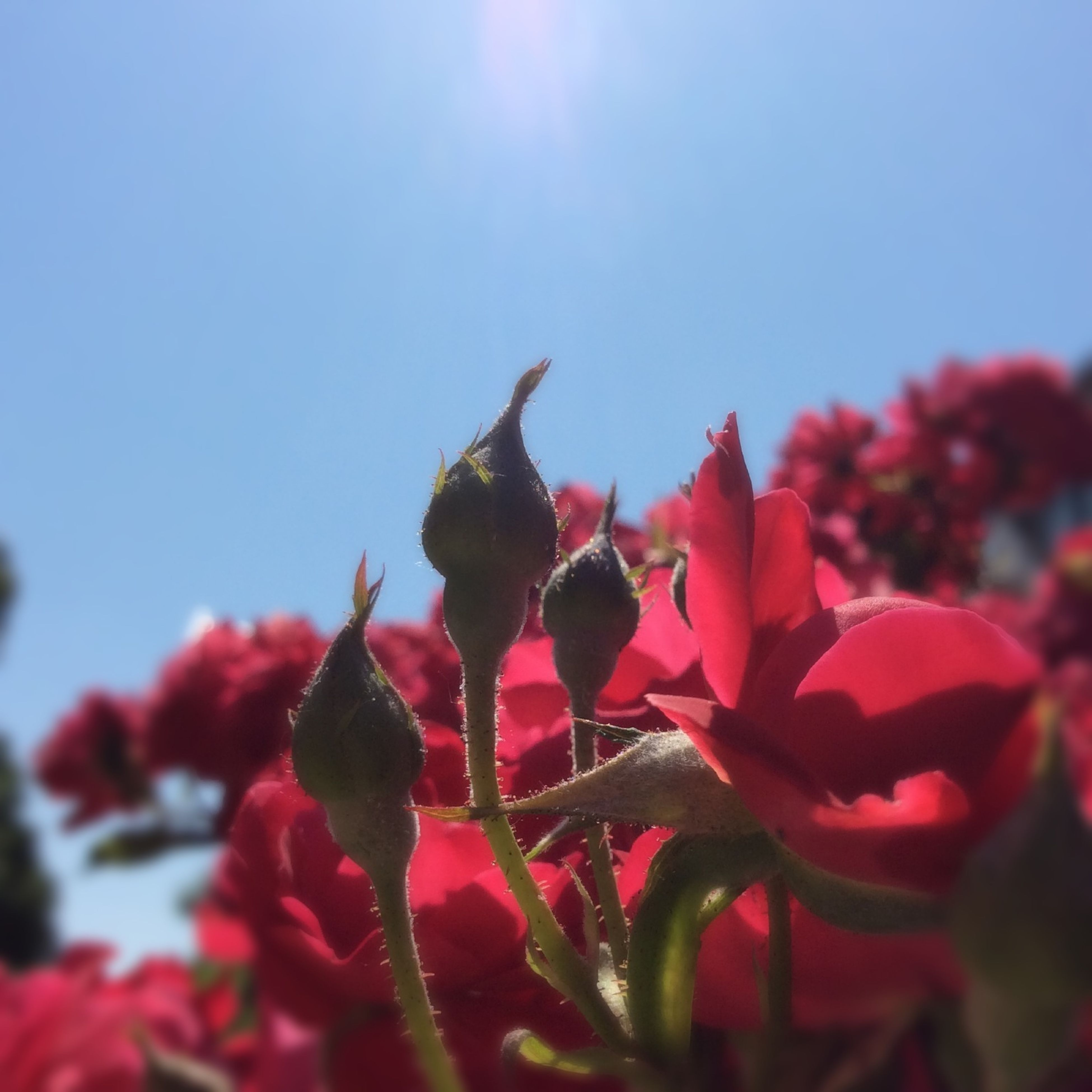 flower, freshness, red, animal themes, clear sky, growth, focus on foreground, fragility, petal, nature, beauty in nature, one animal, close-up, plant, low angle view, animals in the wild, blooming, flower head, sky, sunlight